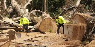Guardias Civiles inspeccionando una Masacre de Tala de Árboles